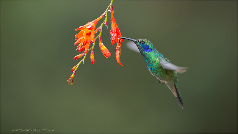 "Almost like a Dream!<br /> <br /> Just after a light rain, still some mist sprinkling in the cloud forest, we have this so beautiful bird feeding on a natural flower!  At 9,000 feet above sea level!<br /> <br /> The Green Violet-ear has such amazing colours, the greens and blues blend in so well with the forest background along with the bright orange on the flower.<br /> <br /> At this location we see the fiery-throated, the magnificent, volcano, the green violet-ear all fighting for territory.<br /> <br /> Hundreds of bird, and only one camera!  No doubt, this is very overwhelming.<br /> <br /> Thanks to you for sharing, and commenting, very much appreciated!<br /> <br /> Thanks to Costa Rica for protecting the environment, and saving these amazing cloud forests!<br /> <br /> Please help and respect nature!<br /> <br /> Green Violet-ear in Flight<br /> RJB Costa Rica Tours<br />  <a href=""http://www.raymondbarlow.com"">http://www.raymondbarlow.com</a><br /> 1/1000s f/4.0 at 400.0mm iso1600"