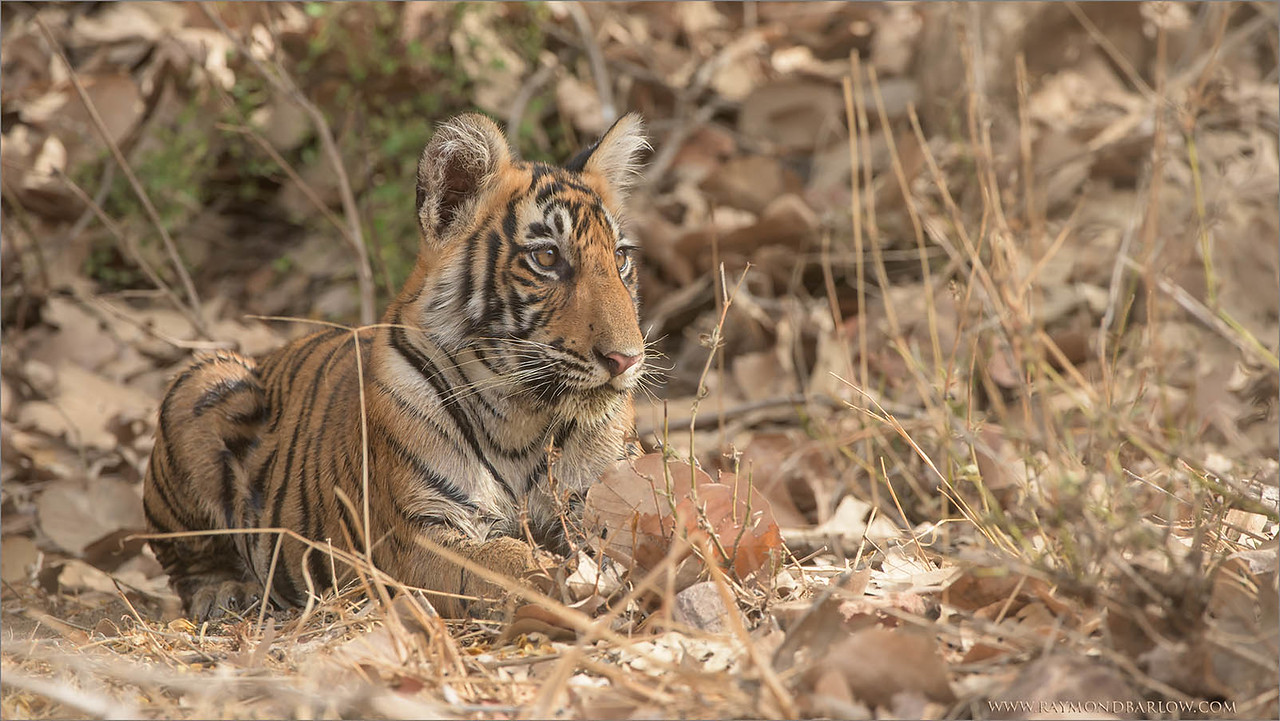Tiger Cub in India<br /> Raymond's Tiger Photography Tours in India<br /> <br /> Help the world protect the Tigers Please!<br /> <br /> ray@raymondbarlow.com<br /> Nikon D810 ,Nikkor 200-400mm f/4G ED-IF AF-S VR<br /> 1/400s f/7.1 at 360.0mm iso800