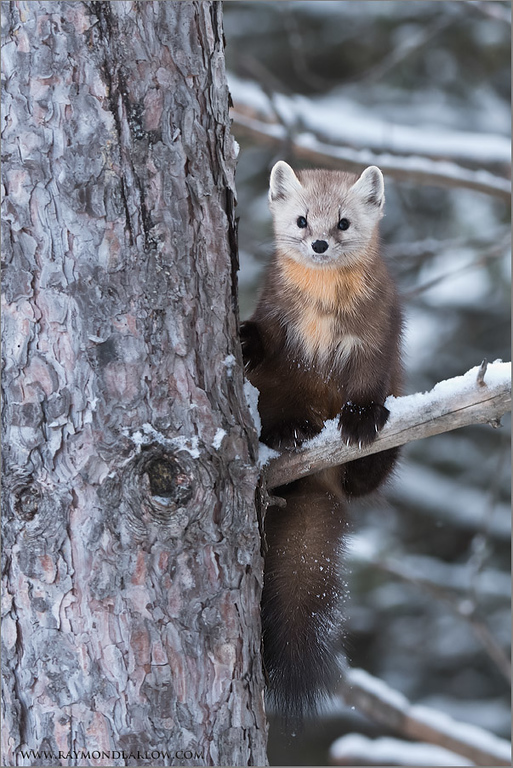 Pine Marten<br /> Raymond's Ontario Nature Tours<br /> <br /> ray@raymondbarlow.com<br /> Nikon D810 ,Nikkor 200-400mm f/4G ED-IF AF-S VR<br /> 1/500s f/5.0 at 210.0mm iso1600
