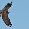 Banking Osprey in Flight<br /> Raymond's Ontario Nature Photography Tours<br /> <br /> Ontario Nature - Beautiful and superb... Please protect!<br /> <br /> ray@raymondbarlow.com<br /> Nikon D810 ,Nikkor 200-400mm f/4G ED-IF AF-S VR<br /> 1/3200s f/6.3 at 400.0mm iso1250