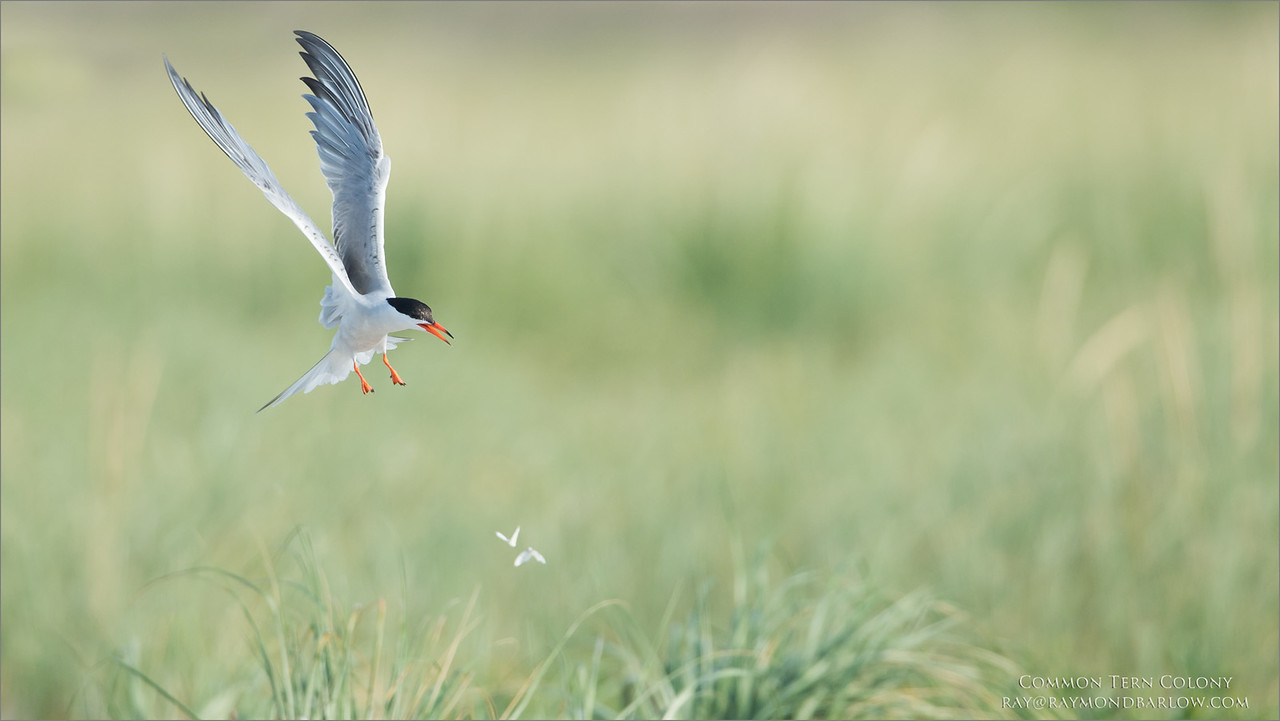 Skimmers and Tern Colony Workshops<br /> <br /> Common Tern in Flight<br /> Raymond Barlow Photo Tours to USA - Wildlife and Nature<br /> <br /> ray@raymondbarlow.com<br /> Nikon D4S SLR ,Nikkor 600 mm f/4 ED<br /> 1/5000s f/5.0 at 600.0mm iso400