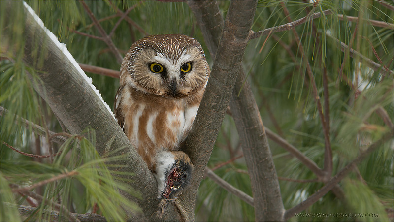 """A Gem in the Woods - Saw-whet Owl<br /> <br /> (warning, a little gruesome!)<br /> <br /> We almost finished a 1.5 hour hike in deep snow, when we came upon this tiny owl (about the size of a pop can!)  deep in the woods.  It was sitting quietly on its kill, almost totally hidden from view!<br /> <br /> We found an angle and took a few shots.  These birds a very friendly, and usually will not fly away, once found.  The bird had already removed the voles stomach, as it (the stomach of the vole) was hanging on the branch below the kill.  An amazing site to see in real nature!<br /> <br /> Special thanks to everyone for an amazing February  on Google+, over 11 million views!<br /> <br /> Thanks for looking, wishing you a good week!<br /> <br /> Contact me here if you wish -<br /> <a href=""""http://tinyurl.com/kdduyav"""">http://tinyurl.com/kdduyav</a><br /> <br /> Saw-whet Owl<br /> RJB Wild Birds of Ontario Workshops<br />  <a href=""""http://www.raymondbarlow.com"""">http://www.raymondbarlow.com</a><br /> 1/15s f/13.0 at 200.0mm iso200"""