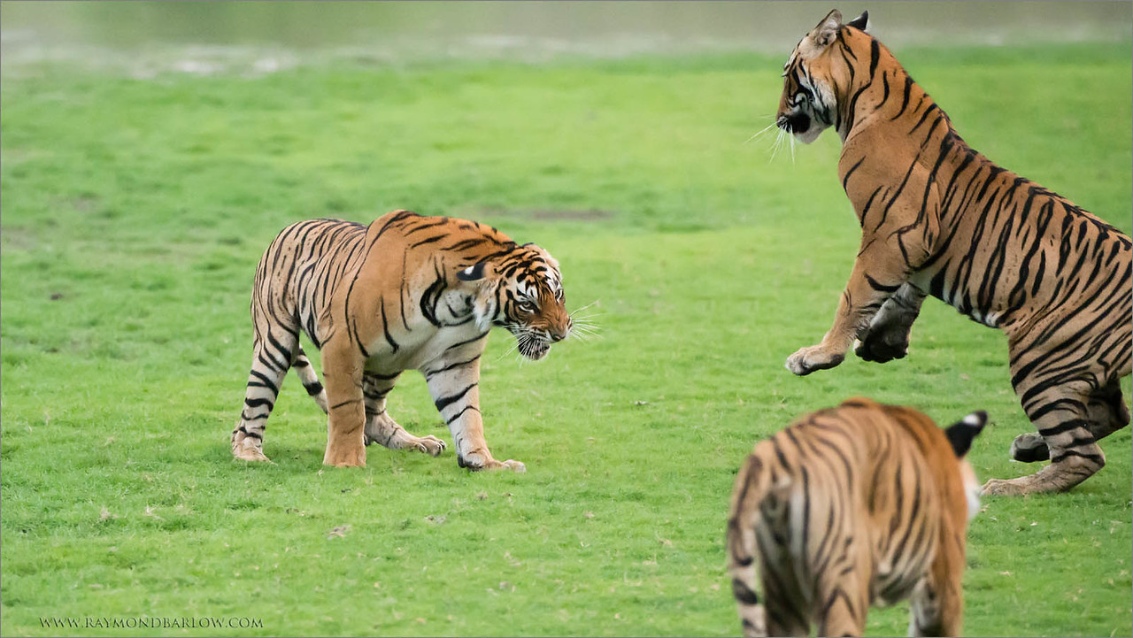 Siblings ready for a fight!<br /> <br /> Wild tiger in India!<br /> Photo tours with Raymond.<br /> ray@raymondbarlow.com<br /> <br /> We can all work together to save our natural world.<br /> <br /> Thanks to everyone for the comments and shares!<br /> raymond