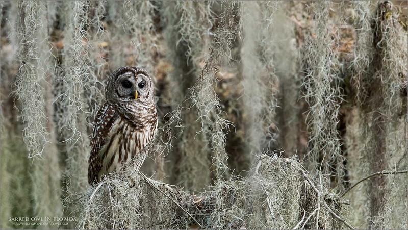 Barred Owl - Florida<br /> Raymond Barlow Photo Tours to USA - Wildlife and Nature<br /> <br /> ray@raymondbarlow.com<br /> Nikon D810 ,Nikkor 600 mm f/4 ED<br /> 1/160s f/6.3 at 600.0mm iso1000