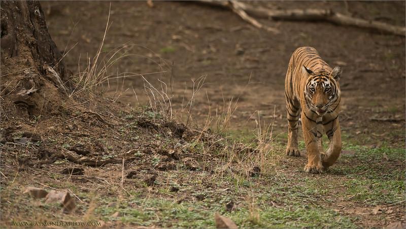RJB_4479 Royal Bengal Tiger  1600 share