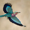 039 Lilac Breasted Roller