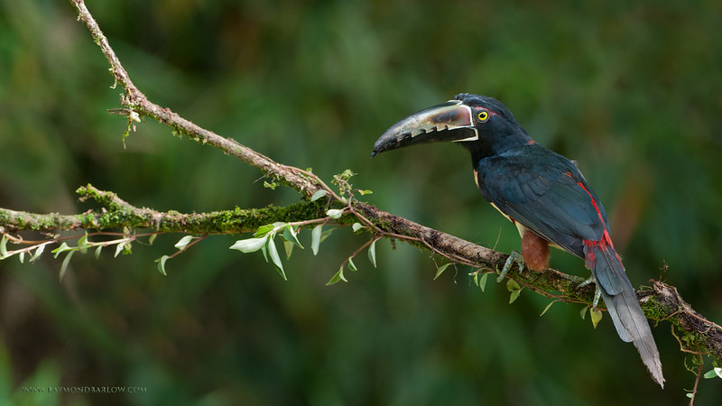 DSC_5939 Collared Aracari 1600 share