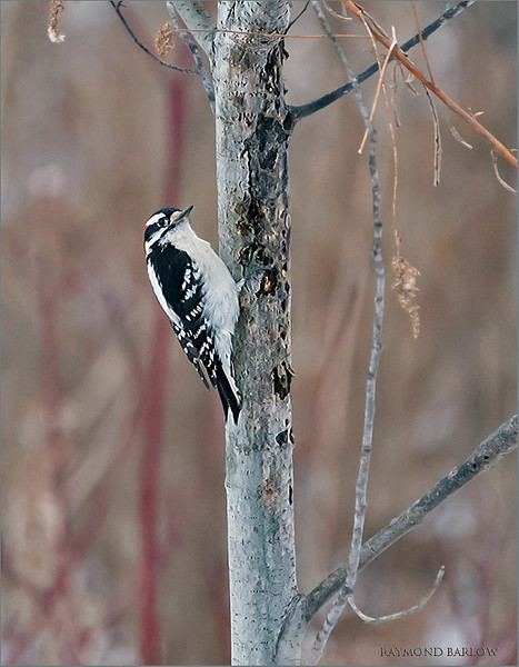 "While waiting for the hawk owl to come out of hiding, we tracked a pair of Downy woodpeckers, foraging in the woods.  Here the male produced a cute pose, all proud of himself as her gets ready for mating and springtime nesting.<br /> <br /> So much fun shooting with this Sony kit in the forest.  The AF was awesome through the bush twigs, and distractions.<br /> <br /> True nature is best.<br /> <br /> Downy woodpecker<br /> Ontario, Canada<br /> <br />  <a href=""http://www.raymondbarlow.com"">http://www.raymondbarlow.com</a><br /> Sony Alpha α9 ,Sony 100-400GM<br /> 1/2000s f/5.6 at 400.0mm iso5000"