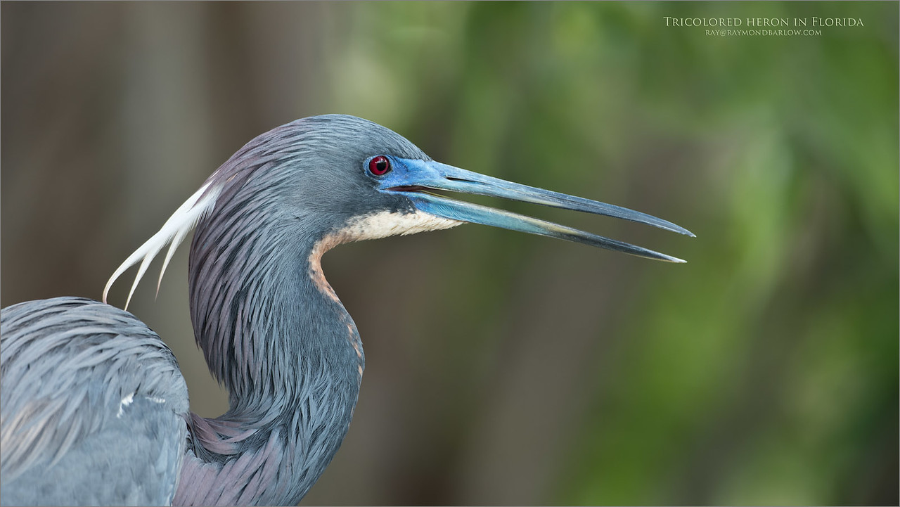 Tri-colored heron portrait - Florida Tours<br /> Raymond Barlow Photo Tours to USA - Wildlife and Nature<br /> <br /> ray@raymondbarlow.com<br /> Nikon D810 ,Nikkor 200-400mm f/4G ED-IF AF-S VR<br /> 1/320s f/5.6 at 400.0mm iso500
