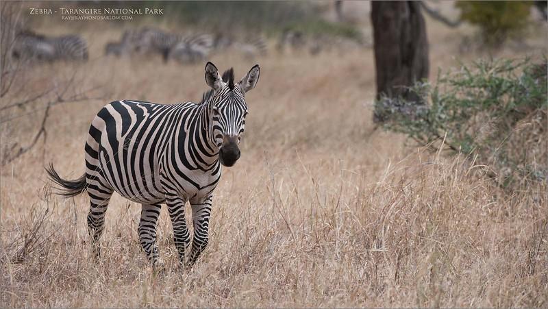 Tanzania Zebra<br /> Raymond Barlow Photo Tours to Tanzania Wildlife and Nature<br /> <br /> Prints - ray@raymondbarlow.com<br /> Nikon D810 ,Nikkor 200-400mm f/4G ED-IF AF-S VR<br /> 1/1600s f/6.3 at 340.0mm iso400