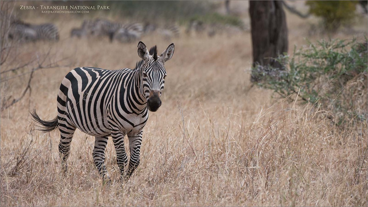Tanzania Zebra<br /> Raymond Barlow Photo Tours to Tanzania Wildlife and Nature<br /> <br /> Prints - ray@raymondbarlow.com<br /> Nikon D810 ,Nikkor 200-400mm f/4G ED-IF AF-S VR<br /> 1/1600s f/6.3 at 340.0mm iso400