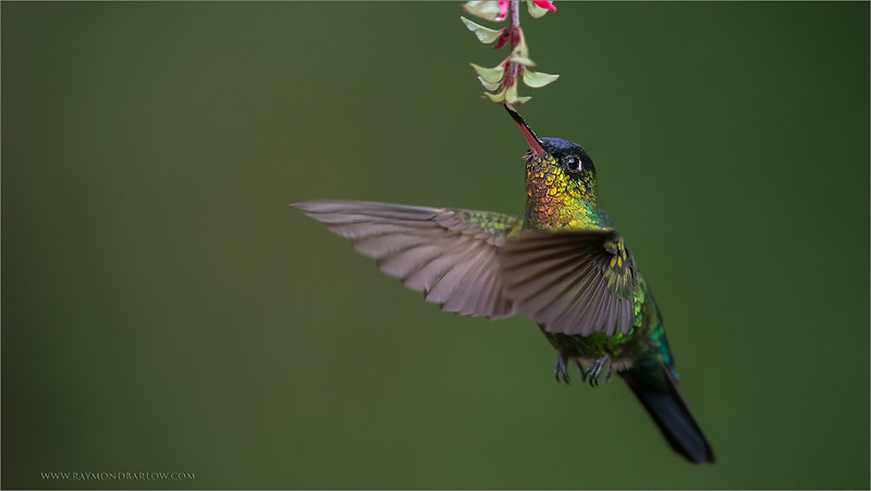 "Still 2 spots left for my next Photo-Tour!<br /> <br /> April 30th, 2015 - Join me here in Costa Rica!<br /> <br /> What an amazing bird, such wonderful colours with this fiery-throated hummingbird!!  Thanks to my guests this last two tours, we had a great time, so much fun!   17 tours now complete for this destination, number 18 coming soon., and also India this month too!<br /> <br /> Thanks to you for sharing and commenting on my images, I am<br /> so fortunate to have so many people who follow my work!<br /> <br /> Best wishes, and take good care of our natural world!<br /> <br /> Fiery-throated Hummingbird<br /> RJB Costa Rica Tours<br />  <a href=""http://www.raymondbarlow.com"">http://www.raymondbarlow.com</a><br /> 1/2000s f/4.0 at 400.0mm iso3200"