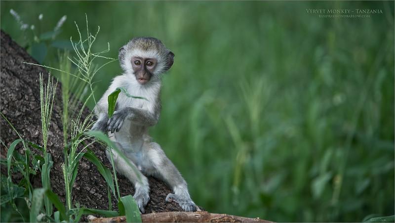 Vervet Monkey in Tanzania<br /> Tanzania, Africa<br /> <br /> ray@raymondbarlow.com<br /> Nikon D850 ,Nikkor 200-400mm f/4G ED-IF AF-S VR<br /> 1/1000s f/4.0 at 350.0mm iso1600
