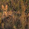 Servo Cat in Tanzania<br /> RJB Tanzania, Africa Tours<br /> Nikon D800 ,Nikkor 200-400mm f/4G ED-IF AF-S VR<br /> 1/160s f/4.0 at 400.0mm iso320