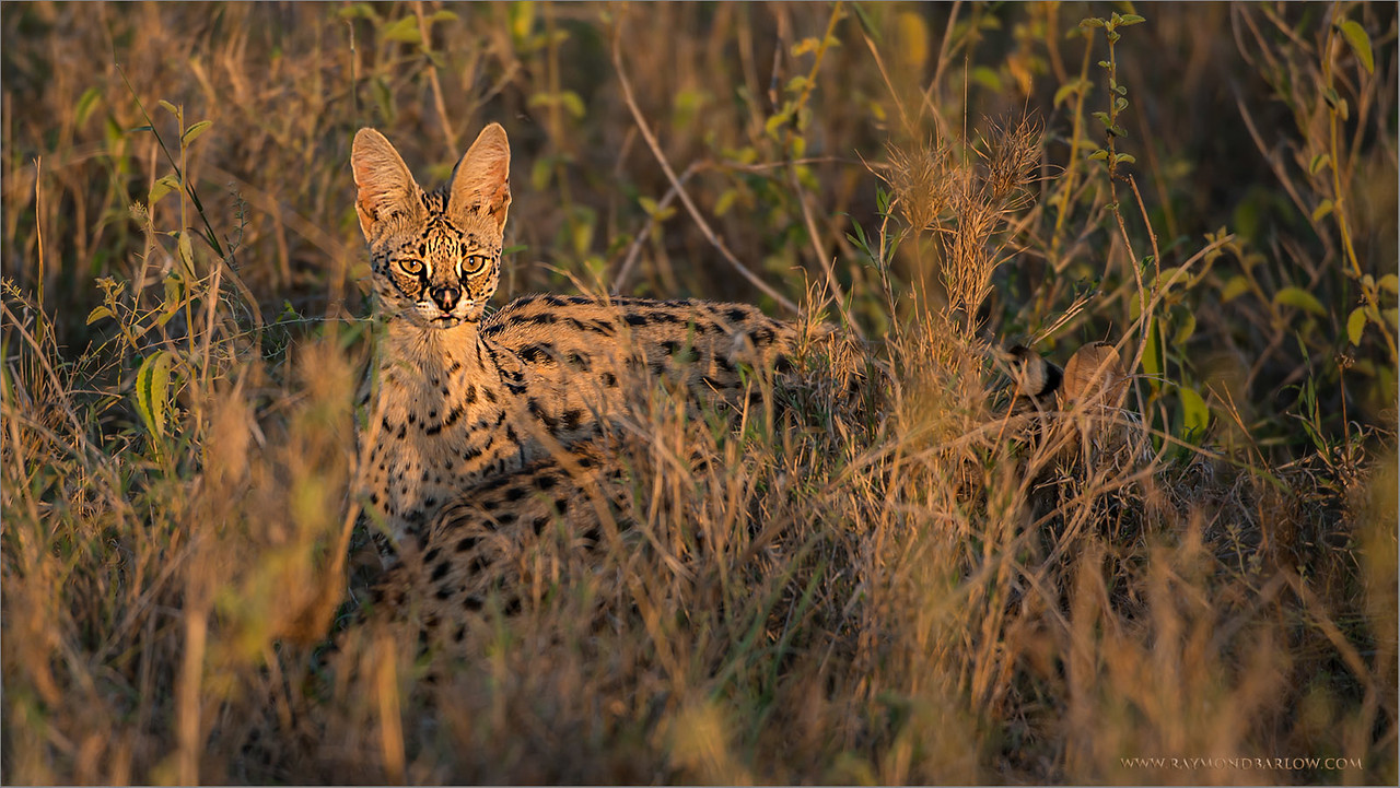 Servo Cat in Tanzania<br /> RJB Tanzania, Africa Tours<br /> Nikon D800 ,Nikkor 200-400mm f/4G ED-IF AF-S VR<br /> 1/160s f/4.0 at 400.0mm iso320