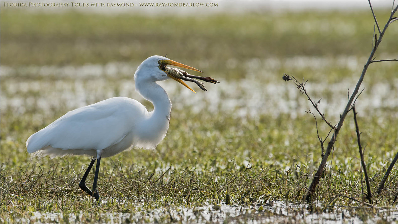 Great Egret with a Free Lunch<br /> Raymond Barlow Photo Tours to USA - Wildlife and Nature<br /> <br /> ray@raymondbarlow.com<br /> Nikon D810 ,Nikkor 600 mm f/4 ED<br /> 1/1000s f/7.1 at 600.0mm iso640
