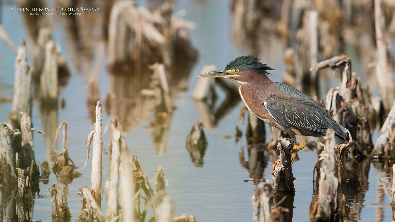 Green heron in Florida<br /> Raymond Barlow Photo Tours to USA - Wildlife and Nature<br /> <br /> ray@raymondbarlow.com<br /> Nikon D810 ,Nikkor 600 mm f/4 ED<br /> 1/2500s f/5.6 at 600.0mm iso640