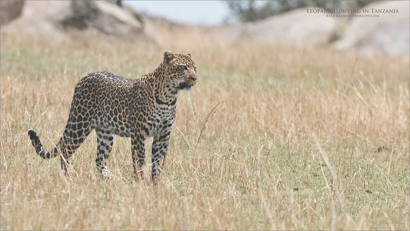 Leopard Hunting - Tanzania<br /> Raymond Barlow Photo Tours to Tanzania Wildlife and Nature<br /> <br /> ray@raymondbarlow.com<br /> Nikon D810 ,Nikkor 200-400mm f/4G ED-IF AF-S VR<br /> 1/3200s f/6.3 at 400.0mm iso1000