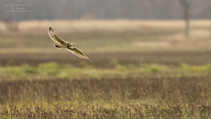 Short eared owl in Flight.<br /> Ontario, Canada.