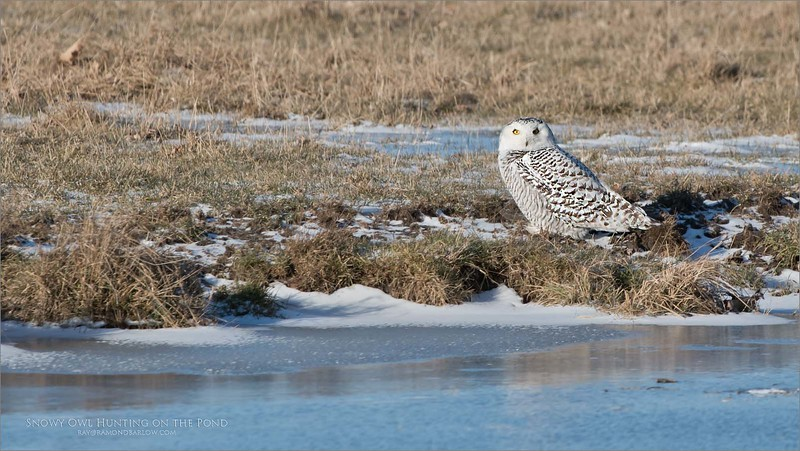 Snowy Owl on the Pond<br /> Ontario, Canada<br /> <br /> Barely time to get the window down in the truck, and this bird was gone.<br /> <br /> I was very luck to have it on my side of the truck, as my guests missed the chance., still feeling guilty about that!  Unfortunately, these birds have been chased around so much by folks with camera, and cell phone, they are weary, and timid. <br /> <br /> Also, we hope for more snow! - next time.<br /> <br /> ray@raymondbarlow.com<br /> Nikon D850 ,Nikkor 200-400mm f/4G ED-IF AF-S VR<br /> 1/1250s f/7.1 at 400.0mm iso400