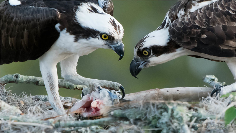 The male Osprey (left)  brings home dinner for the female, and relieves her from her nest tending .  Seconds later she will pick up the fish and venture off to her favourite feeding perch, about 120 yards away.<br /> <br /> Osprey Family Dinner<br /> Orlando, Florida<br /> <br /> ray@raymondbarlow.com<br /> Nikon D850 ,Nikkor 200-400mm f/4G ED-IF AF-S VR<br /> 1/800s f/6.3 at 400.0mm iso1600