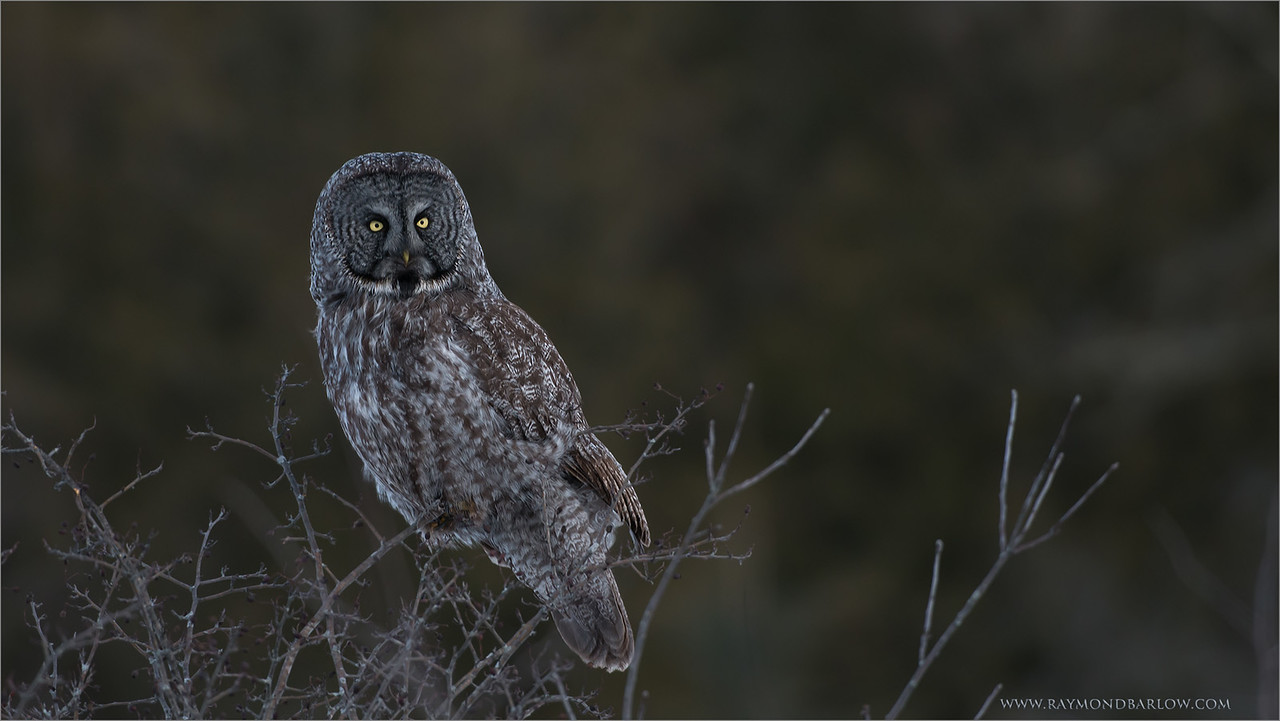 "A little Dark! <br /> <br /> Special thanks to all who share my images.!!<br /> <br /> Looking forward to raptor season, and booking private workshops to photograph these beauties once again here in Ontario.  <br /> Have a good week.<br /> <br /> Great Gray Owl<br /> RJB Wild Birds of Ontario Workshops<br />  <a href=""http://www.raymondbarlow.com"">http://www.raymondbarlow.com</a><br /> 1/800s f/4.0 at 380.0mm iso800"