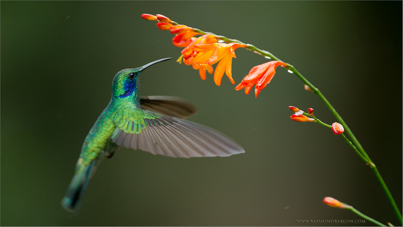 Green Violetear in Flight<br /> RJB Colours of Costa Rica Tour<br /> ray@raymondbarlow.com<br /> Nikon D800 ,Nikkor 200-400mm f/4G ED-IF AF-S VR<br /> 1/1000s f/4.0 at 350.0mm iso1000