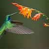 Green Violetear in Flight<br /> RJB Colours of Costa Rica Tour<br /> ray@raymondbarlow.com<br /> Nikon D800 ,Nikkor 200-400mm f/4G ED-IF AF-S VR<br /> 1/1000s f/4.0 at 350.0mm iso1000
