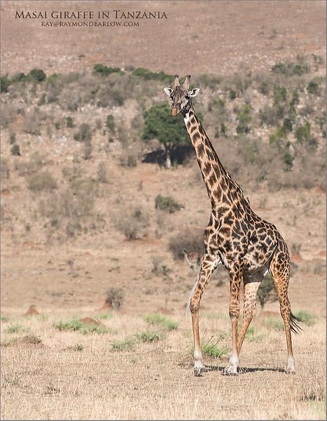 Masai giraffe in Tanzania<br /> Raymond Barlow Photo Tours to Tanzania Wildlife and Nature<br /> <br /> ray@raymondbarlow.com<br /> Nikon D810 ,Nikkor 200-400mm f/4G ED-IF AF-S VR<br /> 1/4000s f/4.5 at 200.0mm iso640