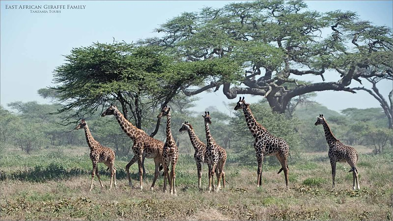 A windy dusty  day in Ndutu, difficult imaging conditions, but worth a try.  so fortunate to find 7 amazing giraffe hanging out near these  classic Acacia  trees in Tanzania.  Harsh light, dust and wind provided the challenge,  nature provided the opportunity.<br /> <br /> February is a superb time to be here in Tanzania, so we go again this year!  Still a few spots left in case you would like to join us.<br /> <br /> Love real nature.<br /> <br /> Giraffe Family<br /> Tanzania, Africa<br /> Nikon D850 ,Nikkor 200-400mm f/4G ED-IF AF-S VR<br /> 1/2500s f/5.6 at 200.0mm iso640