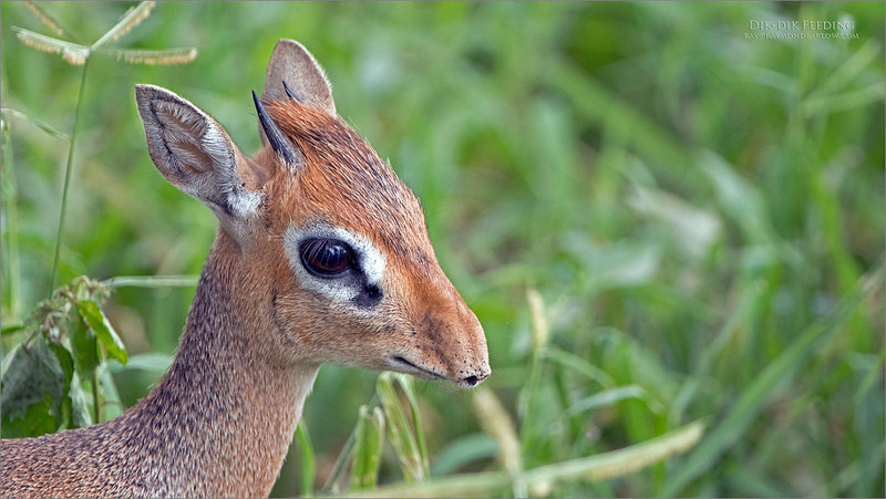 Once in a while we get a clear view!  Surprisingly, this beautiful and very tiny Dik dik posed for us for a few seconds while nibbling on some leaves.  <br /> <br /> Luck was on our side for this tour in early 2018, and we hope for the same in early 2020 for another tour.  Photography in Tanzania is especially spectacular with the brilliant environment and plentiful animal and bird species!<br /> <br /> Dik dik feeding<br /> Tanzania, Africa<br /> <br /> Tanzania tour coming soon -February 2020!!<br /> Nikon D850 ,Nikkor 200-400mm f/4G ED-IF AF-S VR<br /> 1/640s f/4.0 at 400.0mm iso400