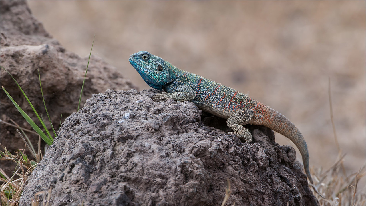Mwanza Flat-headed Rock Agama<br /> RJB Tanzania, Africa Tours<br /> <br /> ray@raymondbarlow.com<br /> 1/320s f/7.1 at 400.0mm iso200