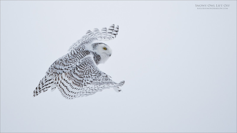 Snowy Owl Lift Off<br /> Raymond's Ontario Nature Photography Tours<br /> <br /> ray@raymondbarlow.com<br /> Nikon D850 ,Nikkor 200-400mm f/4G ED-IF AF-S VR<br /> 1/2500s f/4.0 at 360.0mm iso1000