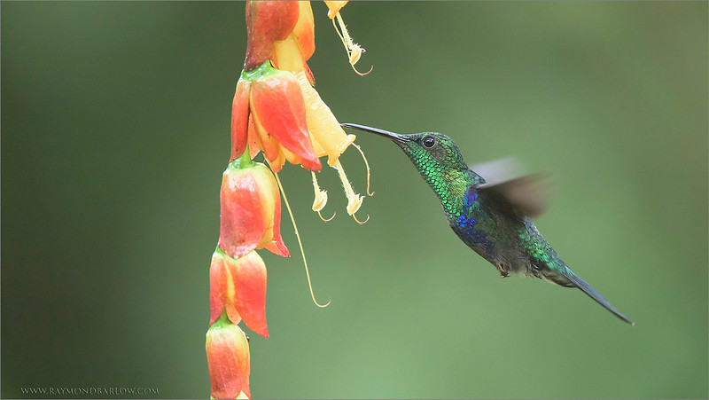 Another tour to the wonders of Hummingbird land, up in the cloud forests, and enjoying the company of my wonderful guests.  Thanks to everyone!<br /> <br /> Green-crowned Woodnymph<br /> Raymond's Ecuador Tours<br /> <br /> ray@raymondbarlow.com<br /> Nikon D810 ,Nikkor 200-400mm f/4G ED-IF AF-S VR<br /> 1/1000s f/4.0 at 400.0mm iso2500