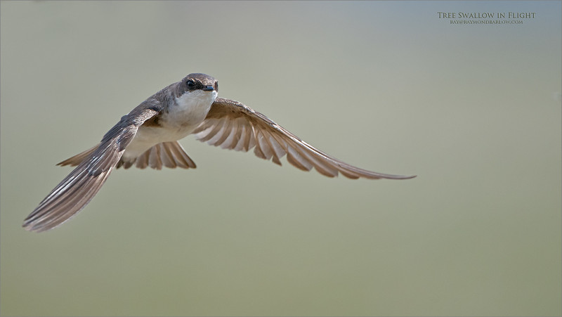 I was never happy with this image, and the original edit, so I took another crack at it last night, for fun. Maybe a little better, but regardless, I will give this shoot another try next spring!<br /> <br /> Tree Swallow in Flight<br /> Raymond's Ontario Nature Photography<br /> <br /> ray@raymondbarlow.com<br /> Nikon D850 ,Nikkor 200-400mm f/4G ED-IF AF-S VR<br /> 1/5000s f/4.0 at 400.0mm iso640