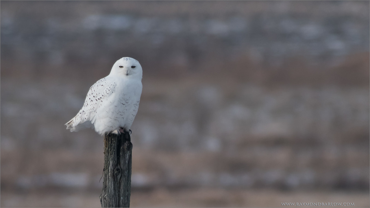 Snowy Owl Hunting<br /> Raymond's Ontario Nature Tours<br /> Nikon D810 ,Swarovski Spotting Scope 95 mm<br /> 1/1000s f/8.5 iso640 - 1440mm effective in crop mode.