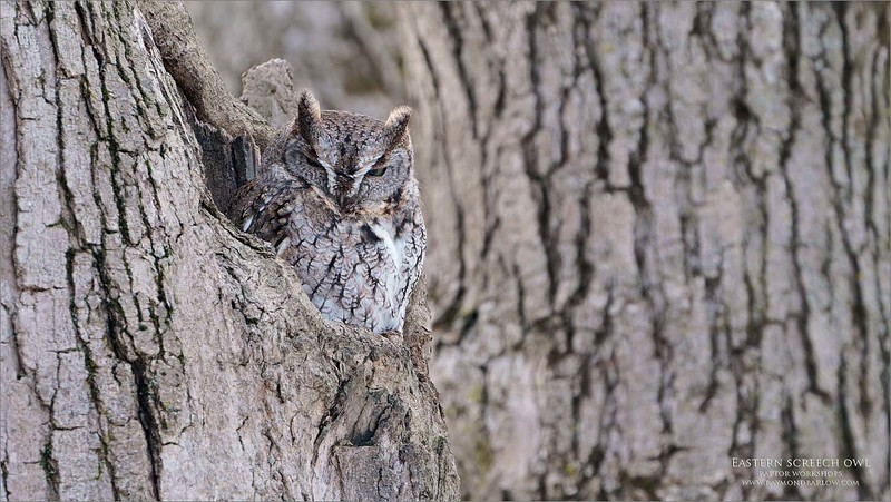 Grumpy tonight?<br /> <br /> O well, I am happy to see you!<br /> <br /> Eastern screech owl, posing for a portrait at its front door.<br /> <br /> Sony A9 + 200-600 OSS.<br /> Jobu Gimbal, and Jobu Algonquin Tripod.<br /> <br /> Thanks for looking.