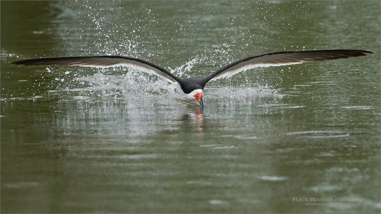 Some of the best fun with a camera is taking wildlife images <br /> that prove to be extremely difficult.<br /> <br /> I can't wait to get back to this place!<br /> <br /> Black skimmer - Skimming<br /> New York Coast<br /> <br /> ray@raymondbarlow.com<br /> Nikon D810 ,Nikkor 600 mm f/4 ED<br /> 1/2000s f/8.0 at 600.0mm iso2500
