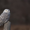 "Snowy Owl Hunting<br /> Raymond's Ontario Nature Tours<br /> <br />  <a href=""http://www.raymondbarlow.com"">http://www.raymondbarlow.com</a><br /> ray@raymondbarlow.com<br /> Nikon D810 ,Nikkor 200-400mm f/4G ED-IF AF-S VR<br /> 1/2000s f/4.0 at 400.0mm iso250"