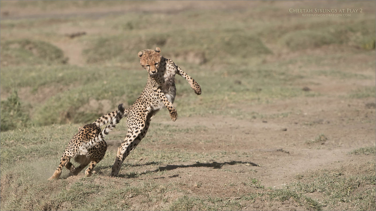 Cheetahs at Play Series 12 Shots  - Image 2 of 12