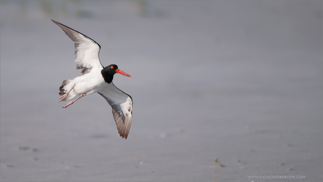"Oystercatcher on the Beach<br /> RJB USA Tours<br /> <br />  <a href=""http://www.raymondbarlow.com"">http://www.raymondbarlow.com</a><br /> 1/2500s f/4.0 at 400.0mm iso200"