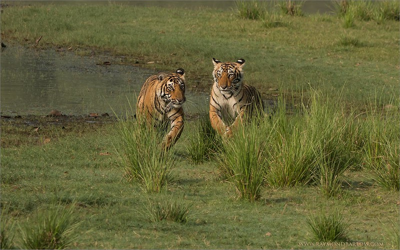 DSC_4508 Two Tiger Cubs on the Run 1600 share