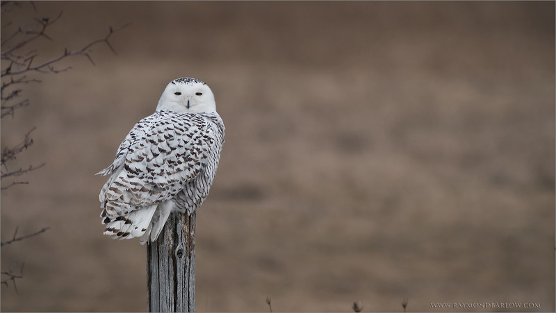 "Raymond's Private Owl Tours<br /> <br /> Snowy Owl on a Post<br /> <br /> <br />  <a href=""http://www.raymondbarlow.com"">http://www.raymondbarlow.com</a><br /> ray@raymondbarlow.com<br /> Nikon D810 ,Swarovski Spotting Scope 95 mm<br /> 1/640s f/9.5 iso800"