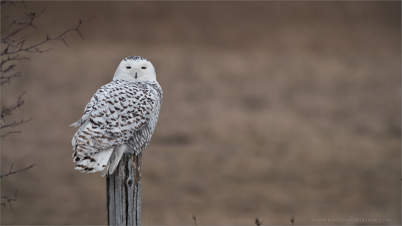 "Raymond's Private Owl Tours<br /> <br /> Snowy Owl on a Post<br /> <br /> <br />  <a href=""http://www.raymondbarlow.com"">http://www.raymondbarlow.com</a><br /> ray@raymondbarlow.com<br /> Nikon D810 ,Swarovski Spotting Scope 95 mm<br /> 1/640s f/9.5 iso800"