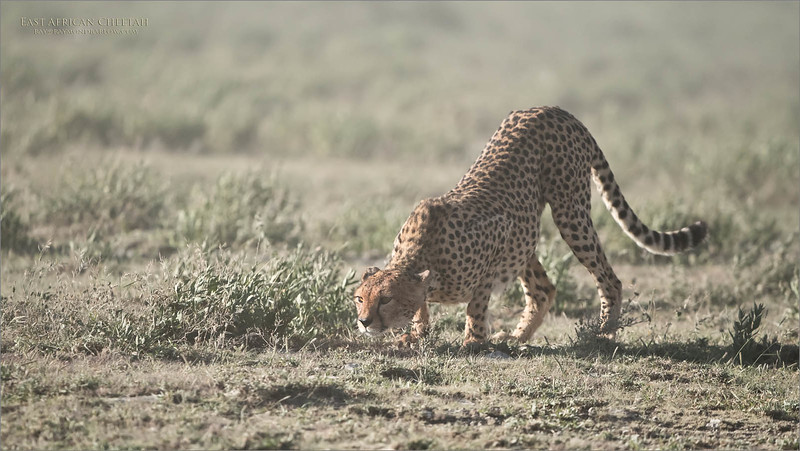 A dusty windy day, as this cheetah picks a low profile to investigate a distance animals scent.<br /> <br /> Cheetah Catches a Scent<br /> Tanzania, Africa<br /> <br /> ray@raymondbarlow.com<br /> Nikon D850 ,Nikkor 200-400mm f/4G ED-IF AF-S VR<br /> 1/8000s f/4.0 at 350.0mm iso1000
