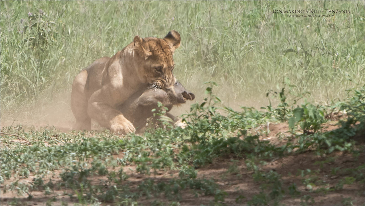 A young warthog bites the dust! - 3 of 8 images.