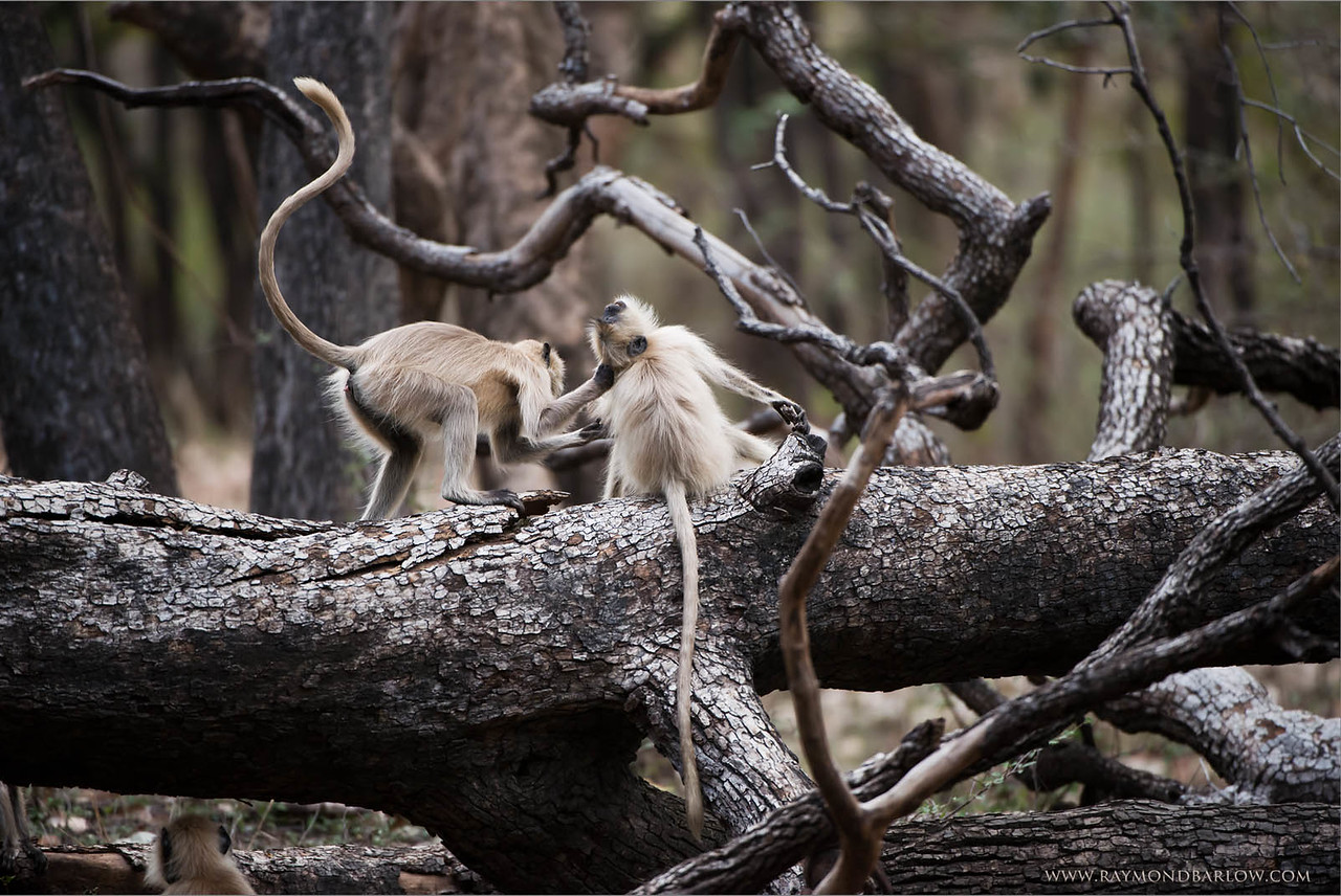 Gray Langur Monkeys in Battle<br /> Raymond's India Photo Tours<br /> <br /> Still room for 3 more guests on my next India Tour <br /> coming up in June 2016<br /> <br /> ray@raymondbarlow.com<br /> Nikon D800 ,Nikkor 200-400mm f/4G ED-IF AF-S VR<br /> 1/1000s f/4.0 at 400.0mm iso2000