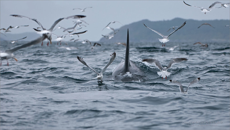 Orca and Gulls - Newfoundland<br /> Newfoundland Canada<br /> <br /> A pod of Orca had a Minke Whale surrounded, and were in the middle of a feast when we caught up to them. they were 12 animals strong, and devouring the whale right below our boat!<br /> Nikon D300 ,Nikkor 200-400mm f/4G ED-IF AF-S VR<br /> 1/500s f/4.0 at 200.0mm iso400