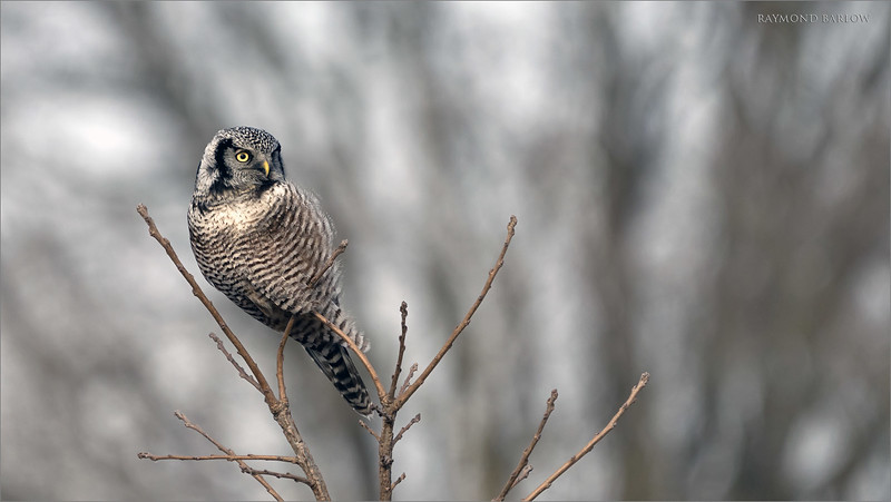 """Northern Hawk Owl<br /> Ontario, Canada<br /> <br />  <a href=""""http://www.raymondbarlow.com"""">http://www.raymondbarlow.com</a><br /> Sony A7riv,Sony 100-400GM<br /> 1/1250s f/5.6 at 400.0mm iso640"""