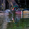 Three hours photographing these beautiful ducks!  Special thanks to my friend and guest Harry Hersh for joining me!<br /> <br /> To get just the right pose.  <br /> <br /> Wood Ducks<br /> <br /> A wet kiss?  Maybe!  We had beautiful light, and calm waters for the morning with these wonderful and colourful birds.  They wandered around the pond feeding, as a long flight south is on their agenda.  Time to build up energy for the trip.<br /> <br /> Using the tripod and gimbal head, I lowered the ISO to 640 and set the camera to APS-C sensor.  (1.5 crop at 600 mm = 900 mm effective focal length.)  And a heavy crop to frame these ducks with a nice composition.<br /> <br /> With a shutter speed at only 1/200, and 900 mm, I was lucky to catch some nice images with decent sharpness.  The superb panning ability of the Gitzo fluid gimbal head really makes a big difference.<br /> <br /> Finally, — f 7.1 for some sharpness and depth of field, leaving me with a decent shot for at least 45 yards (41.15 m).<br /> <br /> I may have been wise to clone out the leave floating in front of the female, funny how we notice these things after we are finished the edit. <br /> I will take it out on the 1600 PX image, so you can compare if you wish.<br /> The original is in the recent image's gallery, this one has been retouched.<br /> <br /> Many thanks for your visit, so much appreciated!